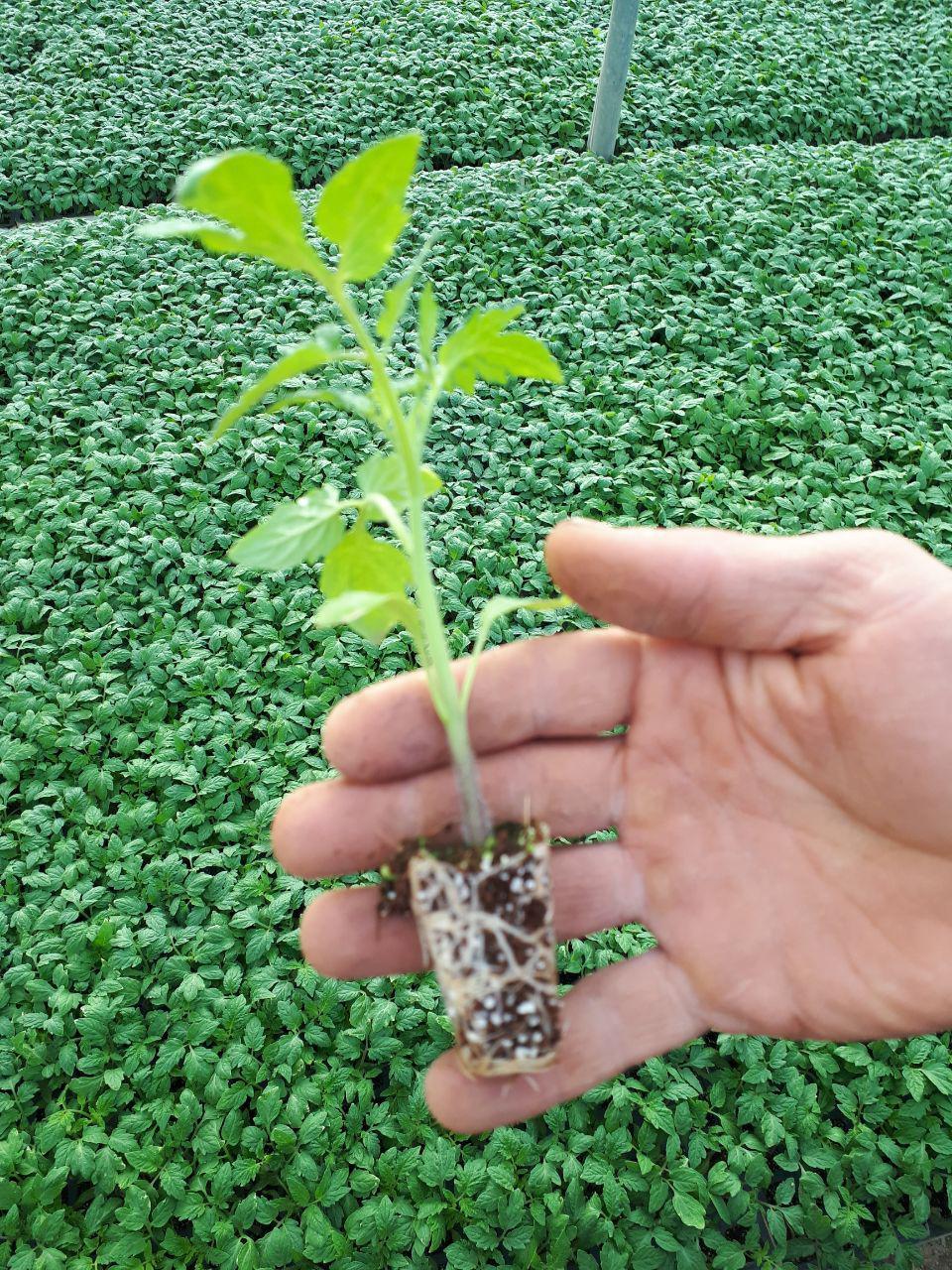آبیاری قطره ای کشاورزی