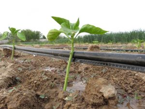 نوار تیپ آبیاری چیست نوعی از لوله های دریپردار مخصوص آبیاری قطره ای محسوب می شود که اولین بار حدود ۵۰ سال پیش در ایالات متحده آمریکا تولید شده است. نوار تیپ آبیاری یکی از وسایلی است که بیشتر برای کشتهای ردیفی در مزارع مورد استفاده قرار میگیرد. برای آبیاری گیاهان ردیفی در مزارع کوچک و بزرگ مانند فلفل،خیار،گوجه فرنگی،کاهو،سیب زمینی،گل کلم،کلم،پنبه و نیز کشت گیاهان دیگری مانند ذرت، حبوبات، گندم، کنجد، برنج و غیره .... مورد استفاده قرار می گیرد نوار تیپ آبیاری به اندازه کافی نزدیک گیاه نصب میشود تا آب از طریق نفوذ عمقی در خاک به محدوده ریشه گیاه برسد.