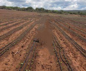 آموزش آبیاری قطره ای : تصویر فوق نمایی از خاک حاصلخیز و مناسب با لوله کشی مناسب با لوله دریپردار را نمایش می دهد.
